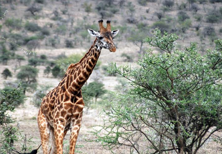 Giraffe in Amboseli National Park