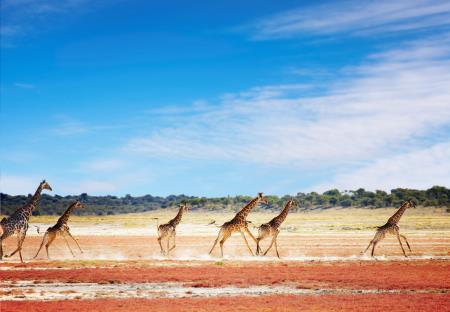 Rennende giraffen in Etosha National Park
