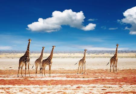 Giraffen in Etosha National Park