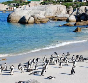 pinguins in kaapstad