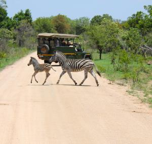 Zebra's tijdens gamedrive in Kruger National Park