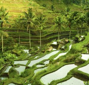 Rijstvelden in Ubud
