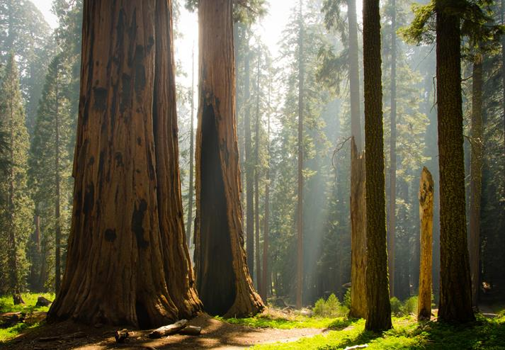 Sequoia bomen in Sequoia National Park