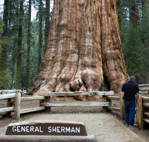 De General Sherman, een reuzensequioa in het Sequioa bos