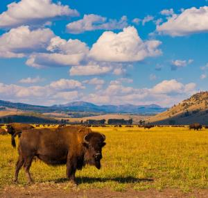 Buffel in Yellowstone National Park