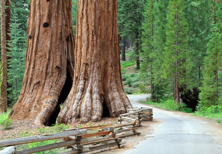 Sequoiatrees in Yosemite National Park