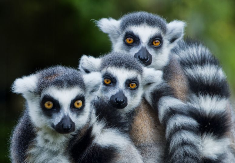 De fotogenieke lemuren in Madagaskar