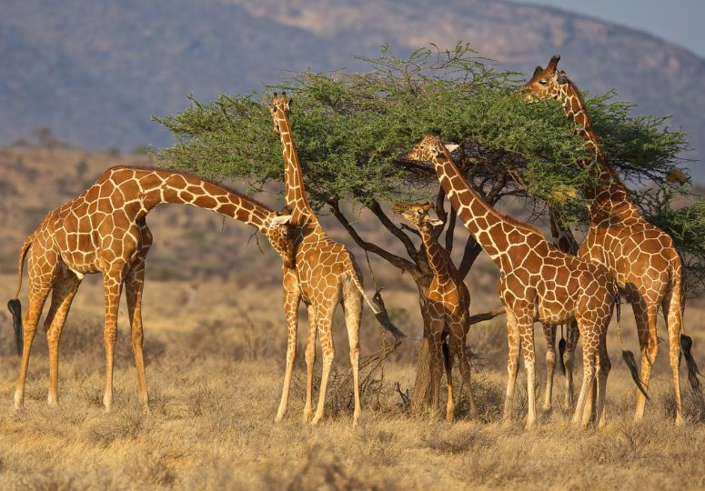 Giraffes in het Samburu National Park in Kenia