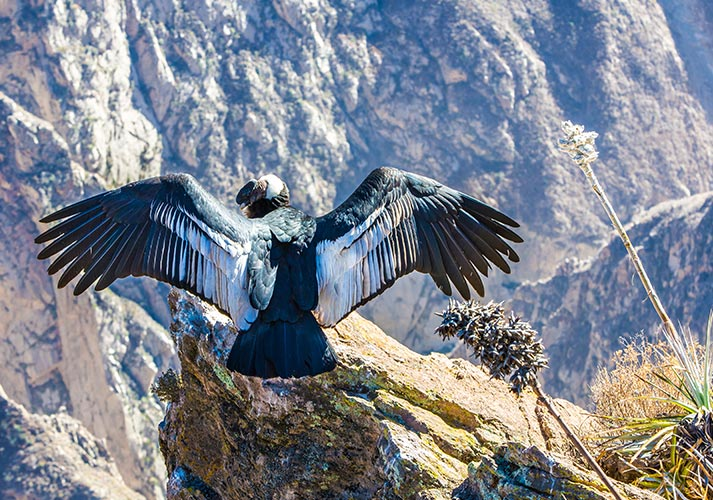 Condor in de Colca Canyon